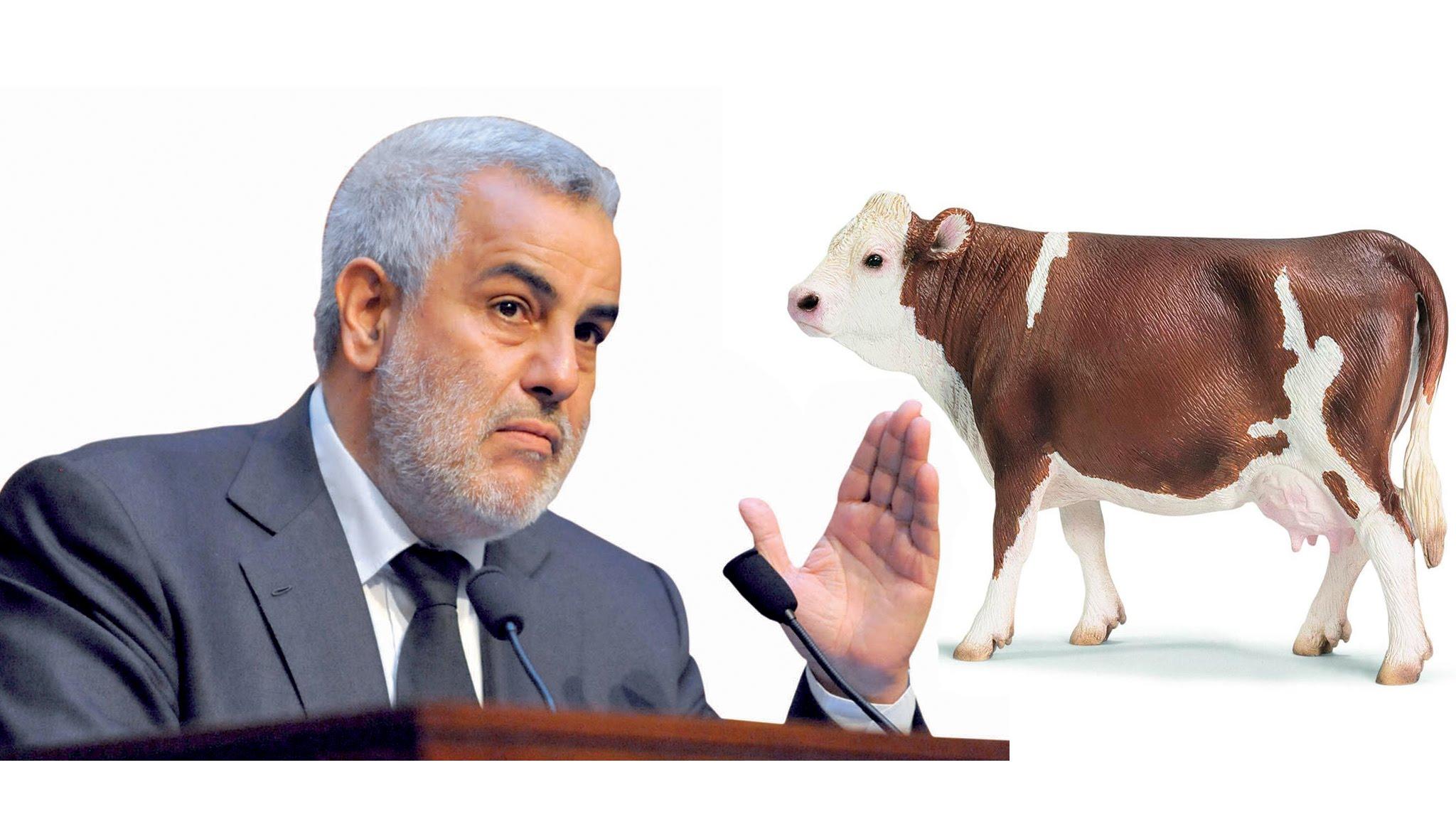 رئيس الحكومة ابن كيران يطلق مشروع بطاقة وطنية لكل بقرة مغربية