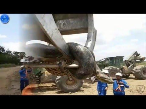 اكتشاف أكبر ثعبان في العالم