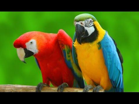 لماذا يستطيع الببغاء التكلم دون غيره من الطيور