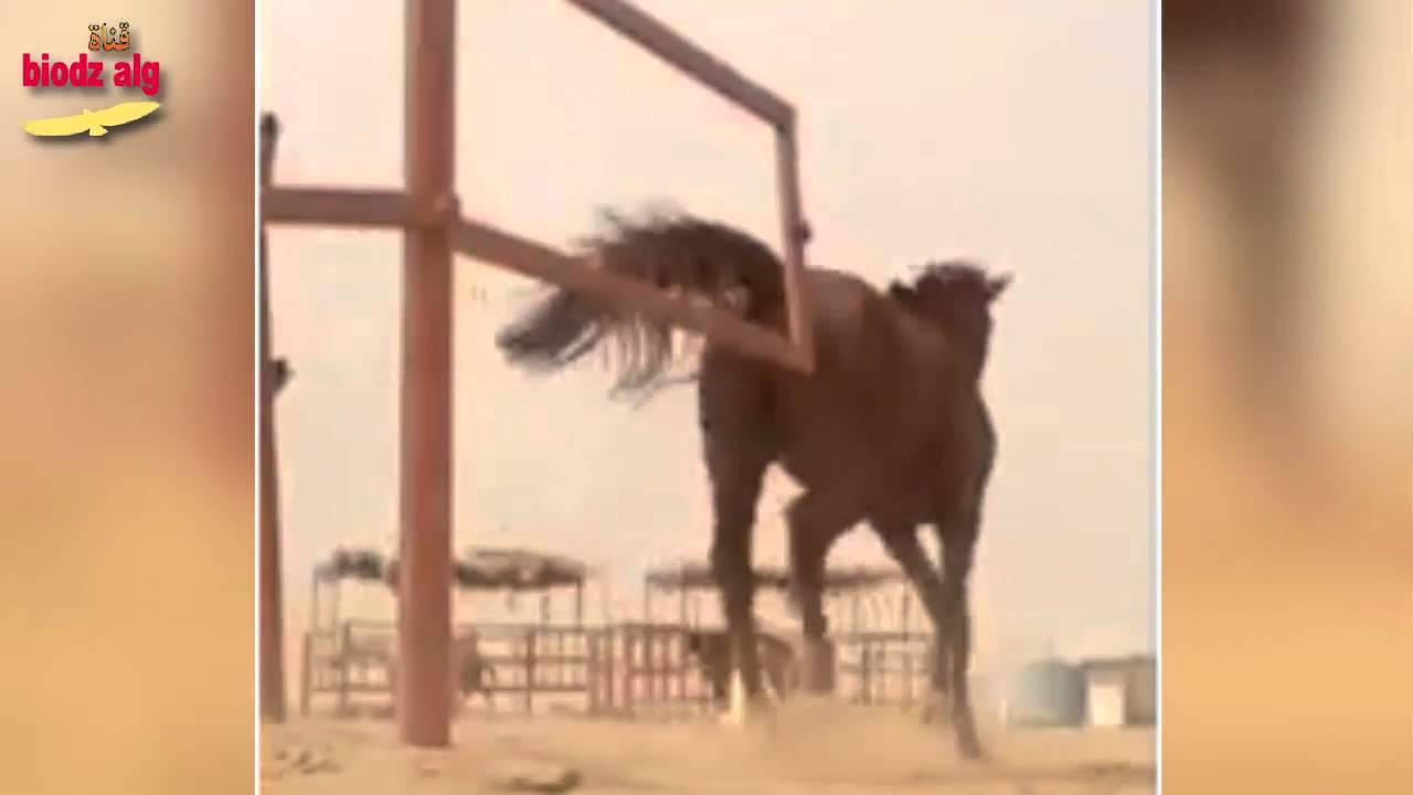 حصان يدافع عن صاحبه و يحرسه