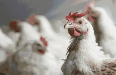 أسعار الدجاج تصل إلى سقف 25 درهما للكيلوغرام في الأسواق المغربية