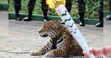 بالفيديو قتل نمر أثناء إنقضاضه على حامل شعلة الألمبياد 2016