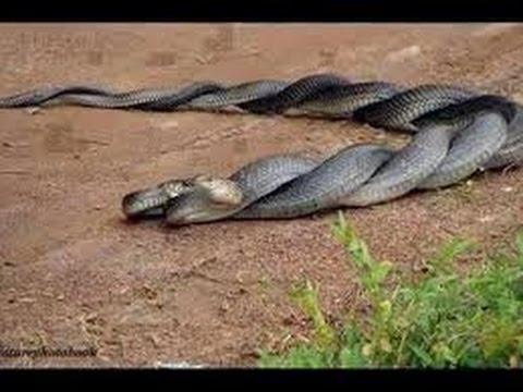 """العلاقات الجنسية بين """"الثعابين السامة"""""""