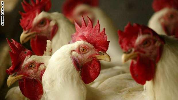 الحرارة تلهب أسعار الدجاج