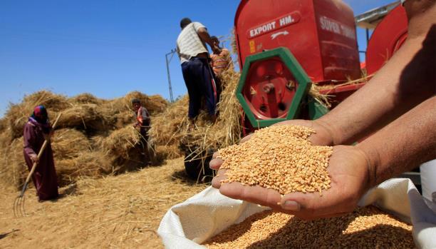 تقرير برلماني: الحكومة المصرية متواطئة في فساد القمح