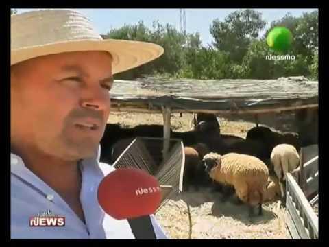 انتشار مرض الطاعون بين الغنم بمنزل بورقيبة