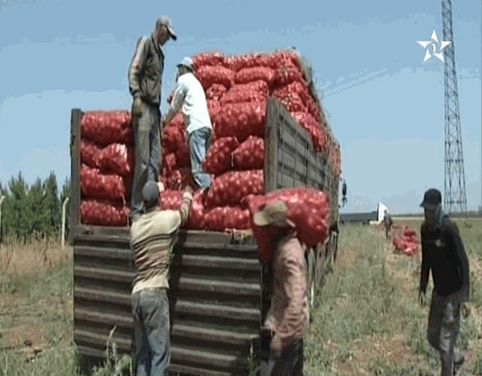 تصدير البصل المغربي إلى دول إفريقيا بعد انخفاض ثمنه في الأسواق