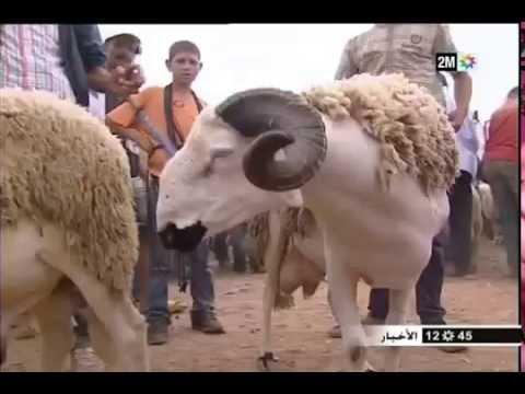 فيديو: هكذا يتم استخدام الغش في تسمين أضاحي العيد