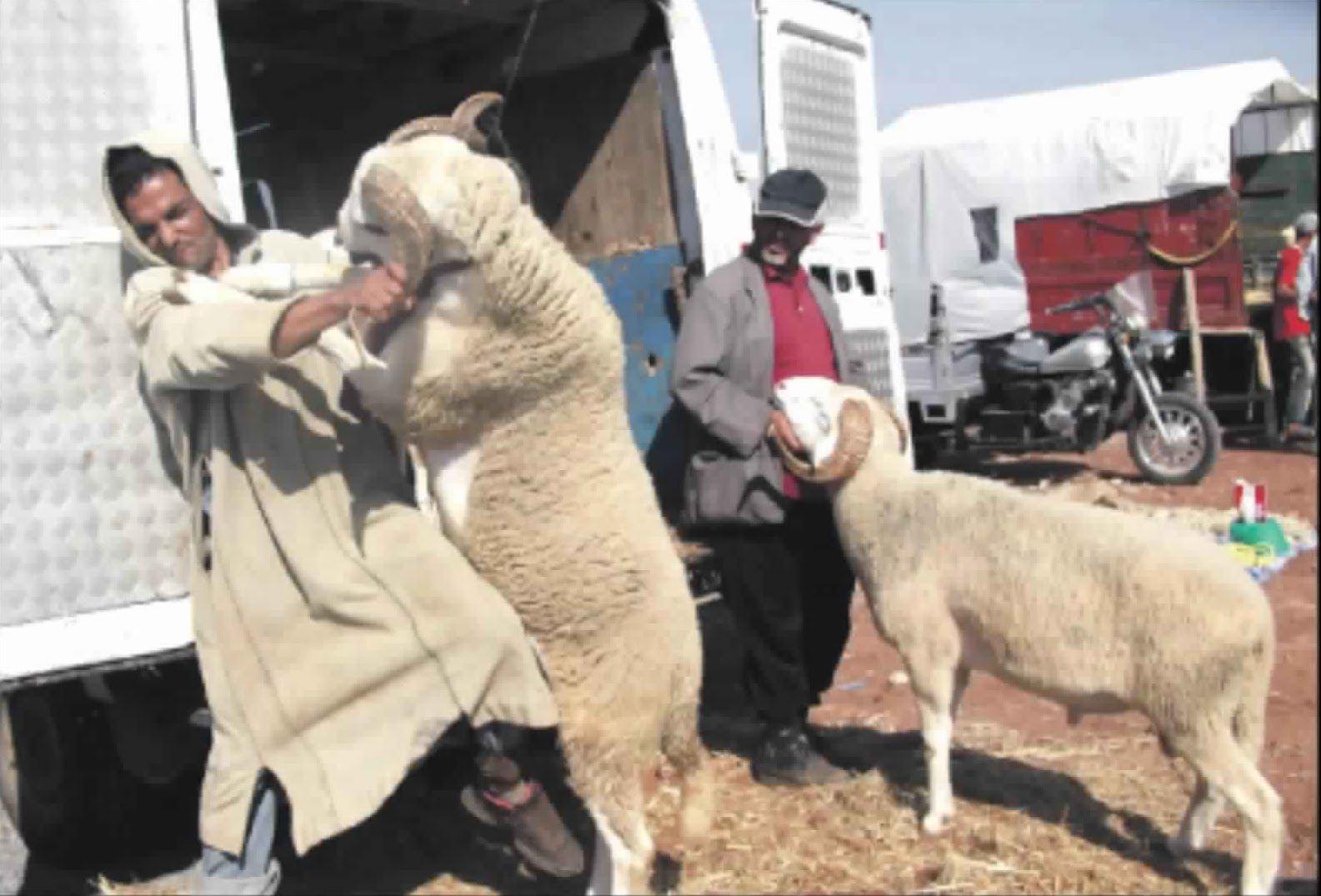 أفضل المواقف المضحكة مع خروف العيد