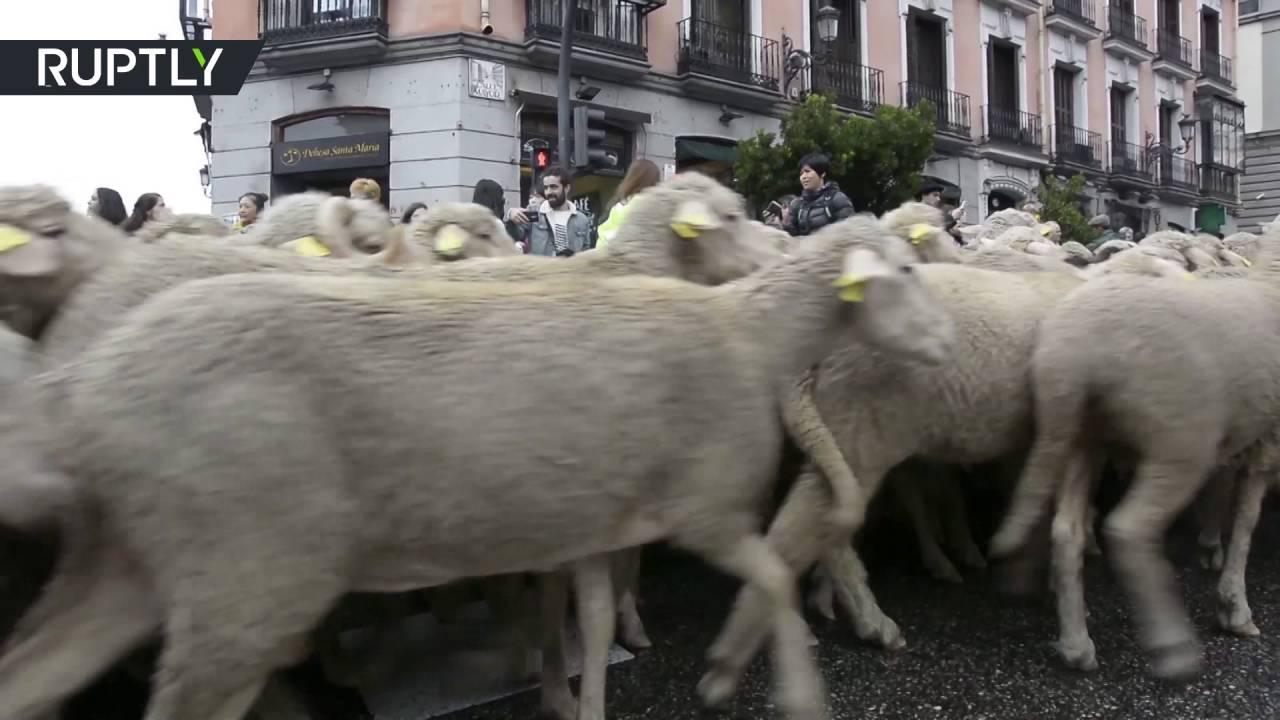 قطعان الأغنام تملأ شوارع مدريد