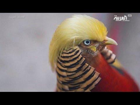 شاهد:طائر صيني يشبه ترمب في تسريحة شعره